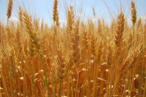 Квота на пшеницу выбрана на 99,6%