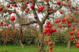 Украинские яблоки в этом году подешевели втрое