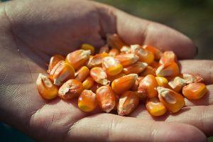 Кукуруза принесла больше всего выручки ИМК