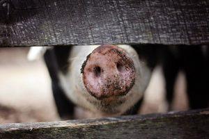 Агропродсервис вдвое сократит поголовье свиней из-за АЧС