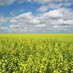Рапс станет лидером по рентабельности среди масличных культур - эксперт