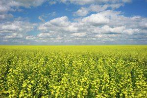 Рапс станет лидером по рентабельности среди масличных культур — эксперт