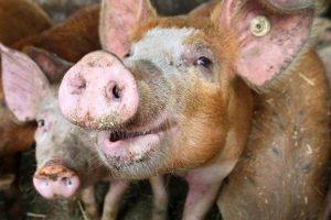 В Украине от эпидемии АЧС погибли 130 тысяч свиней