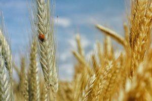 Украинские силовики лишили ДНР пшеницы